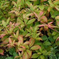 Årets perenn 2020 Gilleinia Trifoliata - Trebladsspira