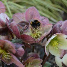 Julros Helleborus niger