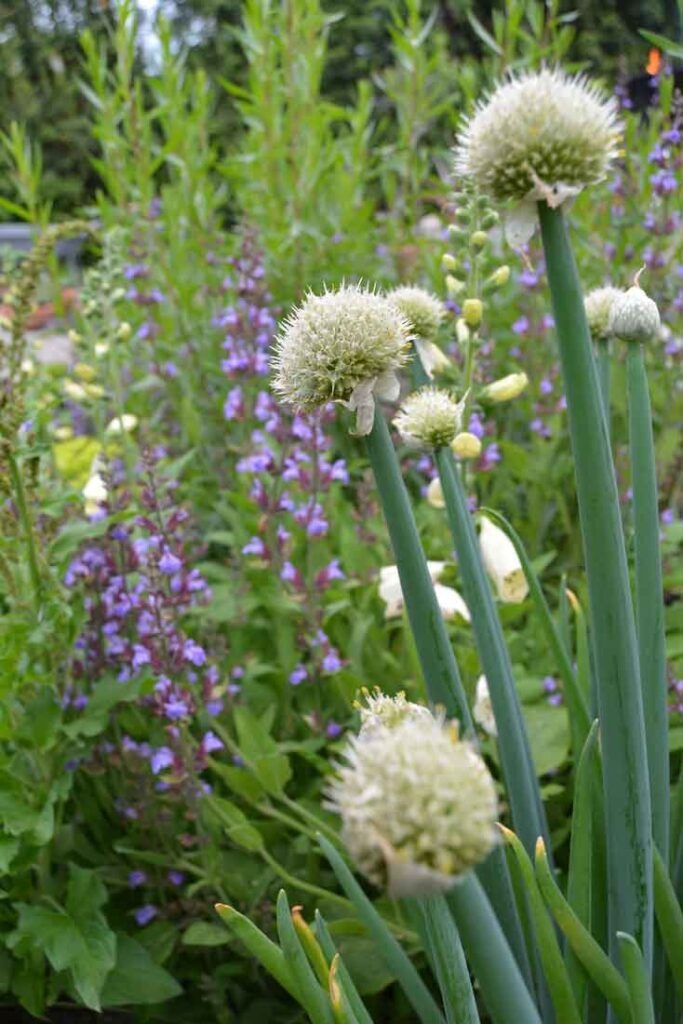 Piplök Allium Fistulosum