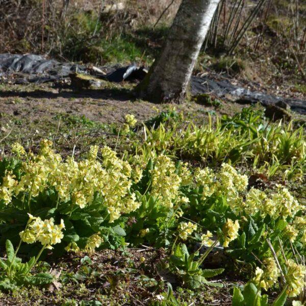 Lundviva (Vildform) Primula elatior