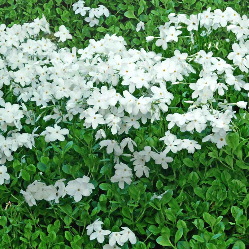Krypflox Phlox stolonifera 'Alba'