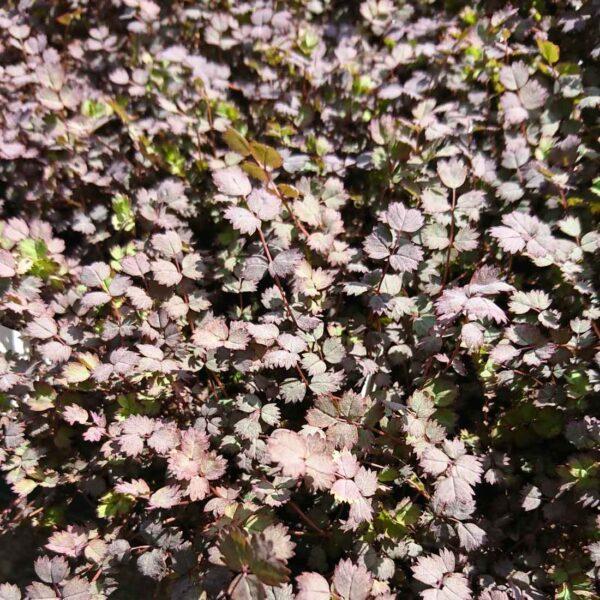 Slät taggpimpinell Acaena inermis 'Purpurea'