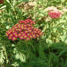 Rölleka Achillea millefolium 'Paprika'