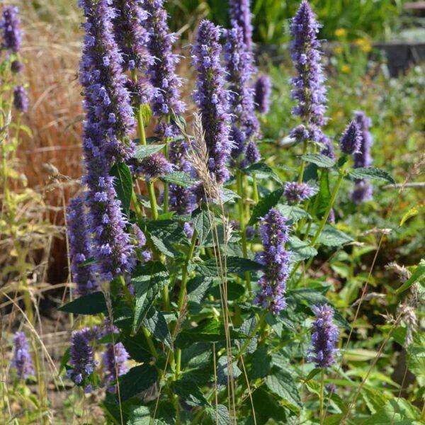 Anisisop Agastache 'Blue Fortune'