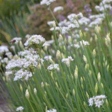 Kinesisk gräslök Allium tuberosum