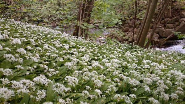 Ramslök Kryddväxt Allium ursinum