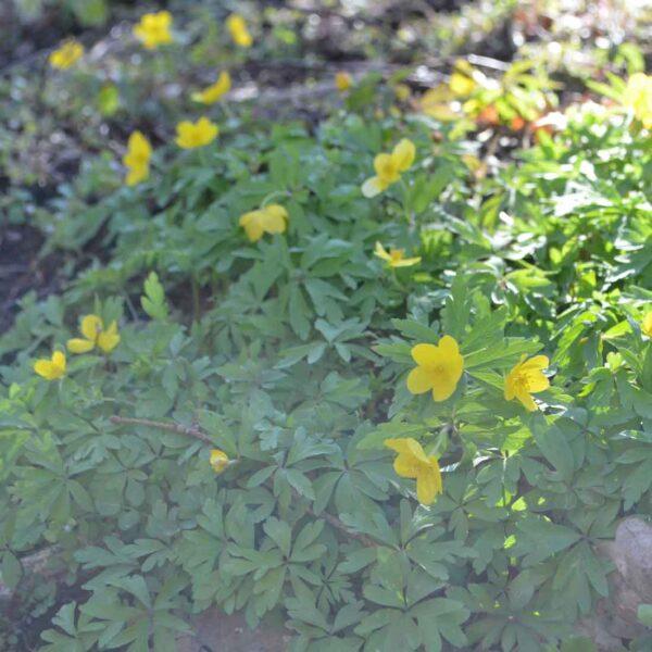 Gulsippa Anemone ranunculoides