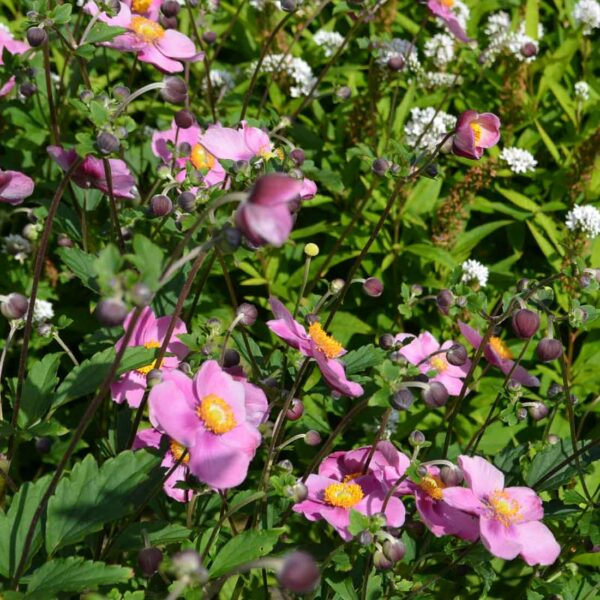 Höstanemon Anemone hupehensis 'Splendens'