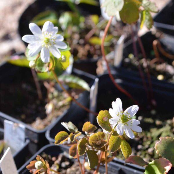 Vitsippsruta Anemone thalictroides