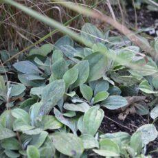 Stor kattfot Antennaria plantaginifolia