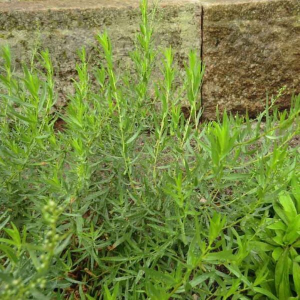 Fransk dragon Artemisia dracunculus