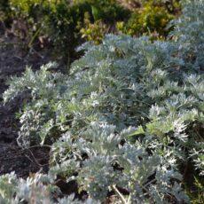 Malört Artemisia absinthium
