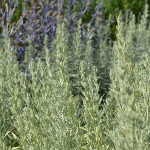 Vitmalört Artemisia ludoviciana 'Silver Queen'