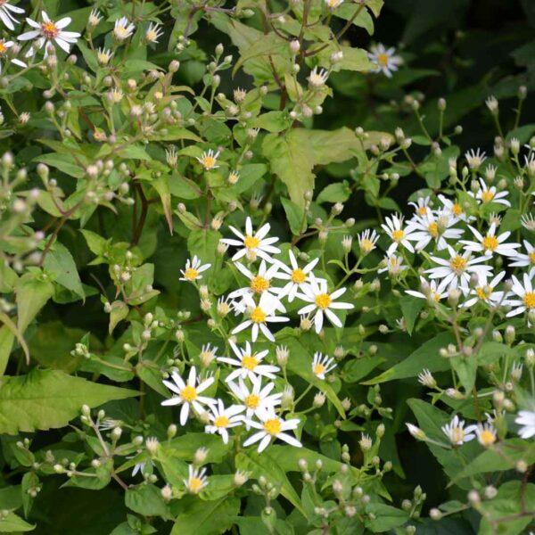 Vit skogsaster Aster divaricatus