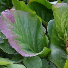 Hjärtbergenia Bergenia cordifolia 'Vinterglöd'