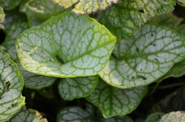 Kaukasisk förgätmigej Brunnera macrophylla 'Mr.Morse'