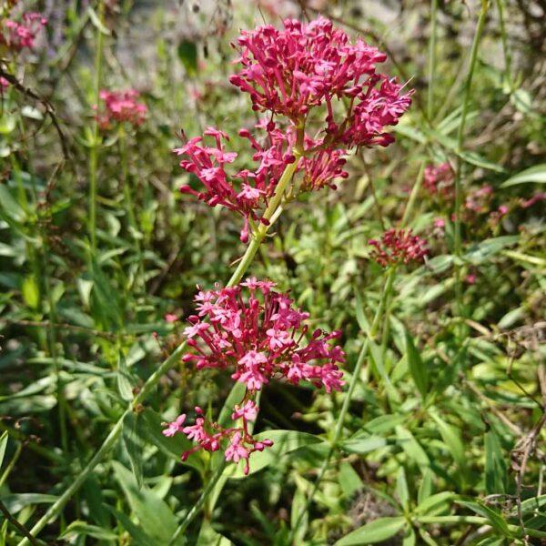 Pipört Centranthus ruber 'Coccineus'