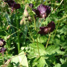 Brunnäva Geranium phaeum 'Samobor'