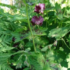 Brunnäva Geranium phaeum
