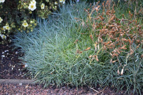 Fjädernejlika Dianthus plumarius 'Marieberg'