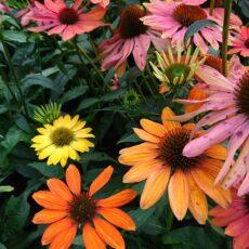 Solhatt blandade färger Echinacea 'Cheyenne Spirit'