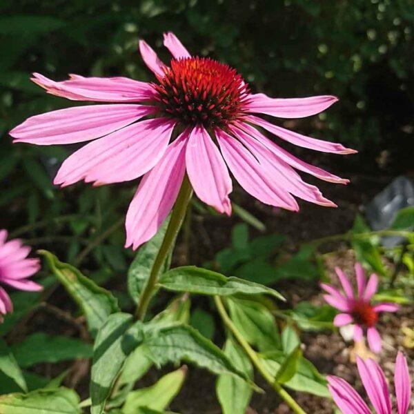 Röd solhatt eller Röd rudbeckia Echinacea purpurea 'Magnus'