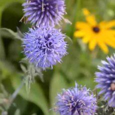 Blå bolltistel Echinops bannaticus 'Veitch's Blue'