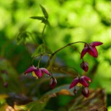Röd sockblomma Epimedium rubrum