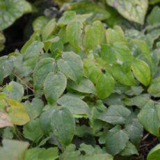 Japansk sockblomma Epimedium grandiflorum 'Lilafee'