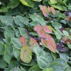 Blekgul sockblomma Epimedium versicolor 'Sulphureum'