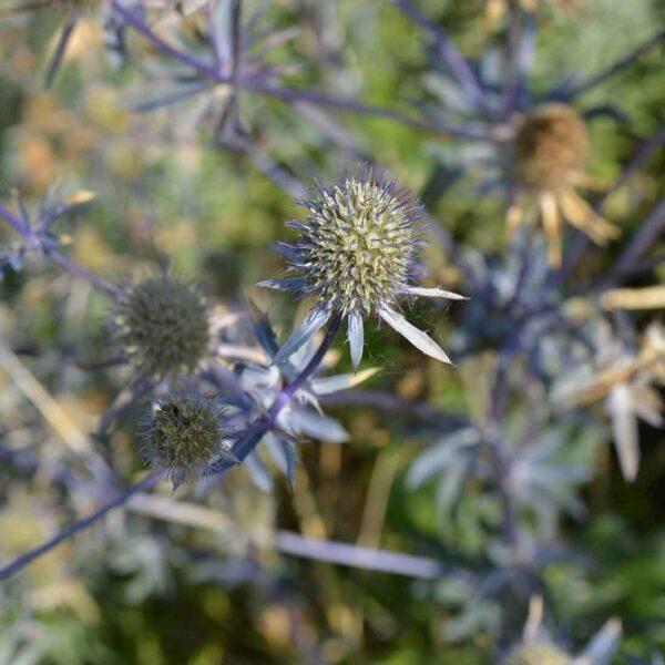 Rysk martorn Eryngium planum 'Blaukappe'