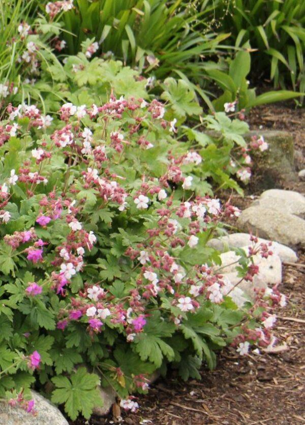 Flocknäva Geranium maccrorrhizum 'Spessart'