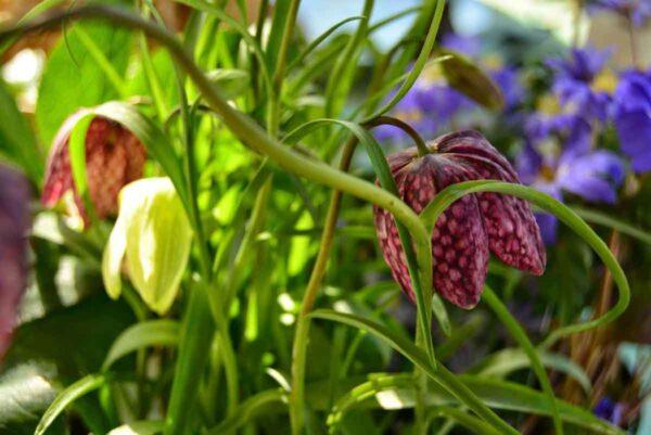 Kungsängslilja Fritillaria meleagris