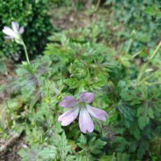 Trädgårdsnäva Geranium 'Dreamland'