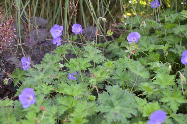 Trädgårdsnäva Geranium 'Rozanne' (Gerwat)