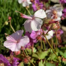 Biokovonäva Geranium cantabrigiense 'Biokovo'