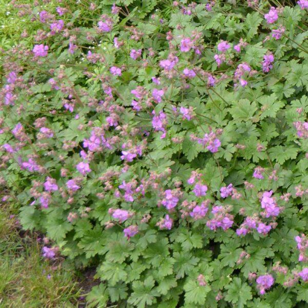 Liten flocknäva Geranium cantabrigiense 'Karmina'