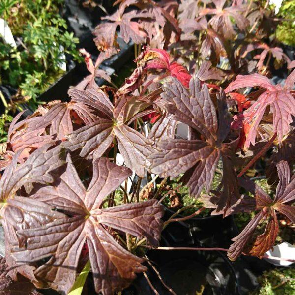 Fläcknäva Geranium maculatum 'Espresso'