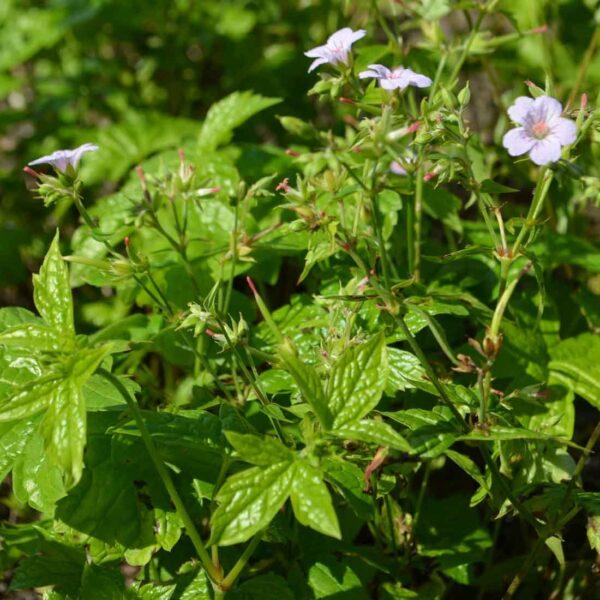 Blanknäva Geranium nodosum