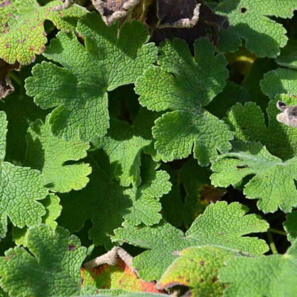 Nätnäva Geranium renardii