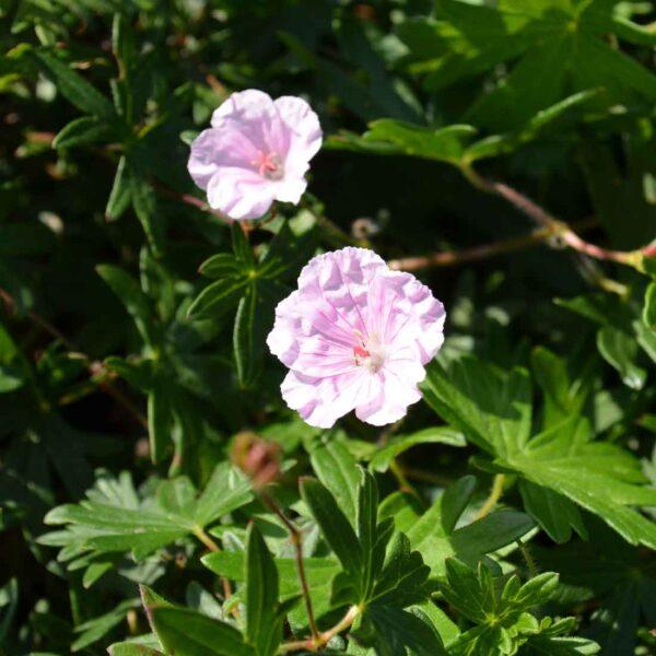 Jungfrunäva Geranium sanguineum var. striatum