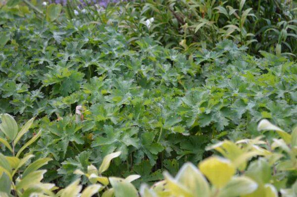 Kungsnäva (Kaukasisk näva) Geranium magnificum