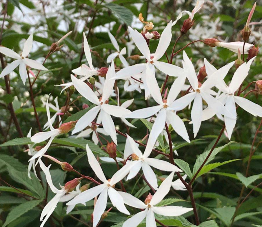 Gillenia / Trebladsspira Gillenia trifoliata