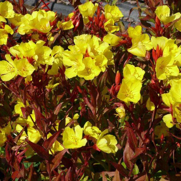 Gullattljus Oenothera fruticosa 'Erica Robin'