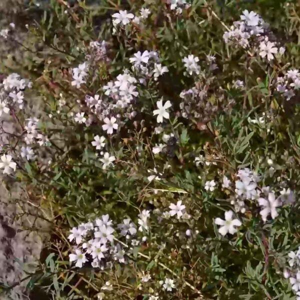 Brudslöja Gypsophila paniculata