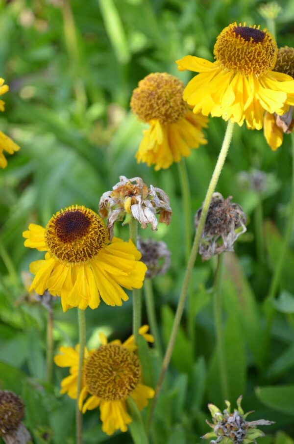 Solbrud Helenium 'The Bishop'