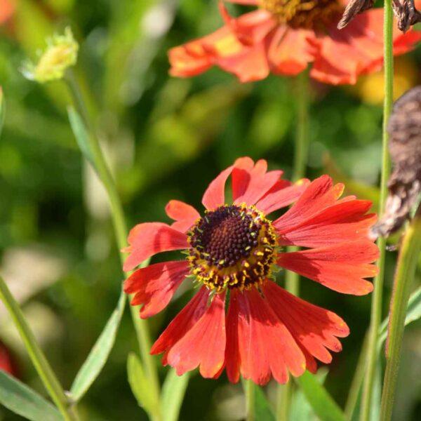 Trädgårdssolbrud Helenium 'Moerheim Beauty'