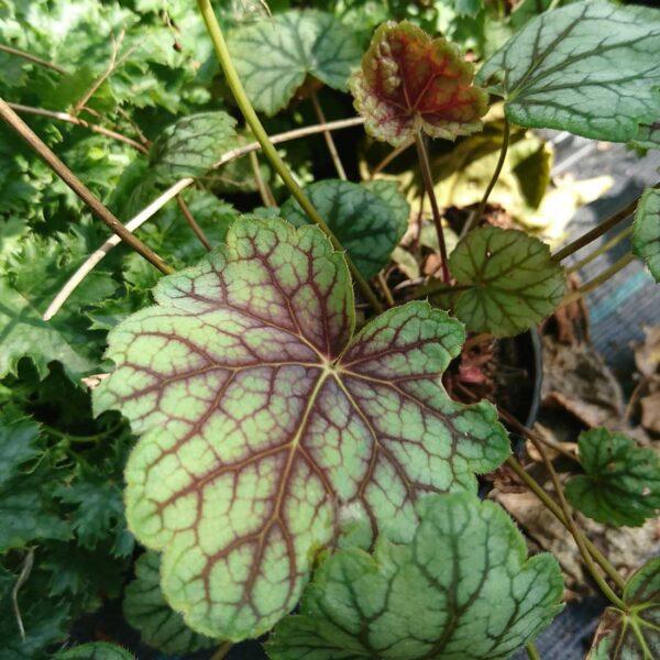 Alunrot Heuchera 'Green Spice'