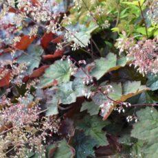 Lönnalunrot Heuchera villosa 'Palace Purple'