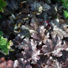 Alunrot Heuchera 'Plum Pudding'